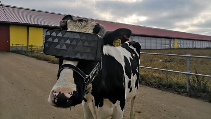 Okulary VR dla krów mlecznych